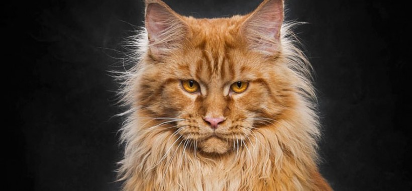 maine-coon-cat-photography-robert-sijka-51-57ad8f13b7436__880-mini
