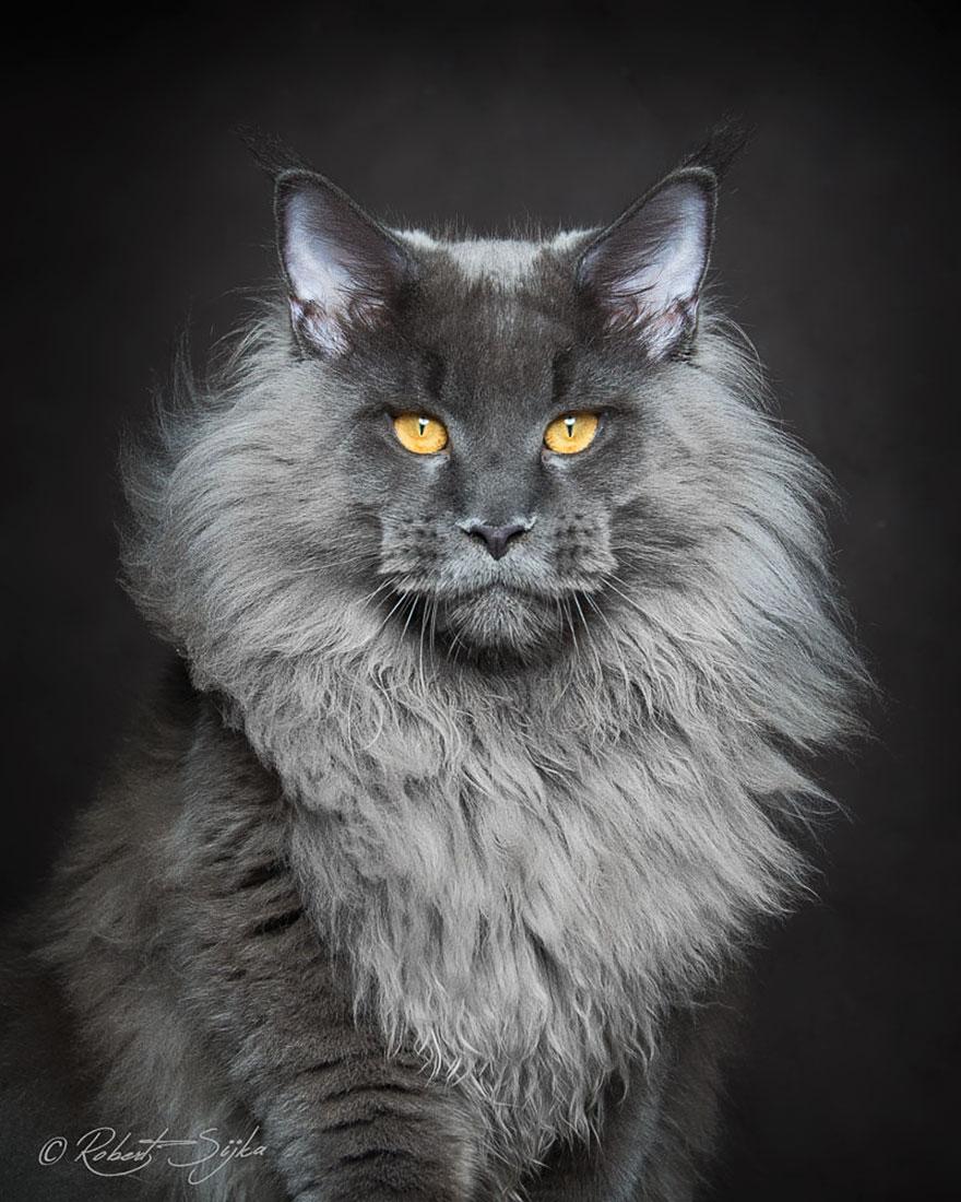maine-coon-cat-photography-robert-sijka-64-57ad8f2c0277c__880
