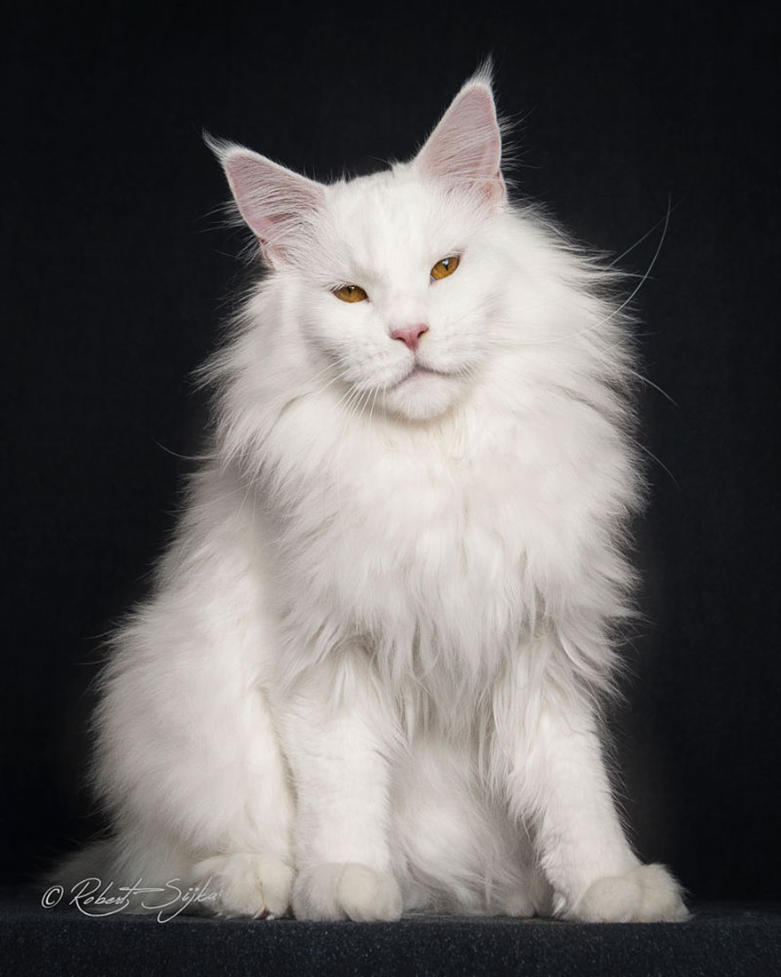 maine-coon-cat-photography-robert-sijka-66-57ad8f2fc1a1a__880
