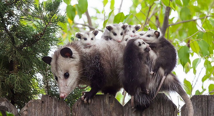 cute-possums-12
