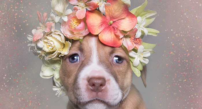 pit-bull-flower-power-adoption-sophie-gamand-71