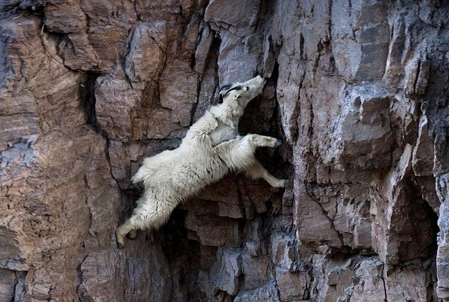 crazy-goats-on-cliffs-7-01
