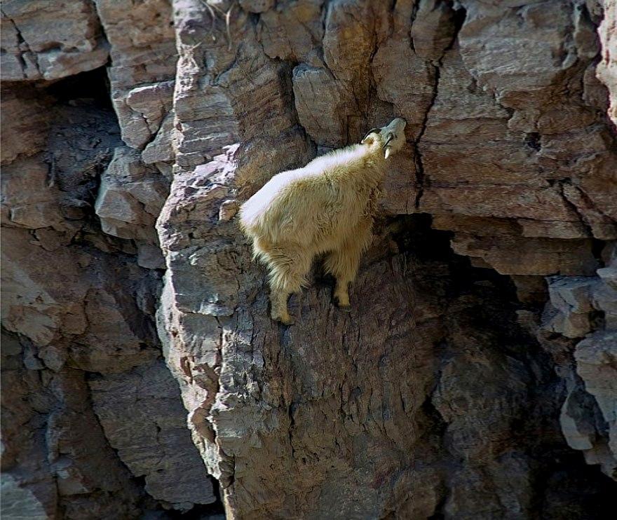 crazy-goats-on-cliffs-8