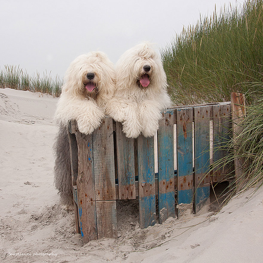 old-english-sheepdog-dog-sisters-sophie-sarah-cees-bol-17