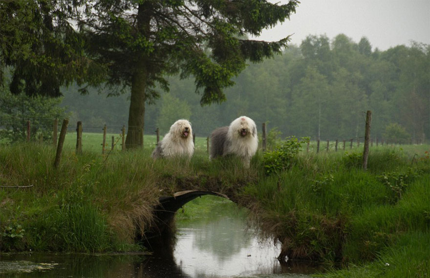old-english-sheepdog-dog-sisters-sophie-sarah-cees-bol-27