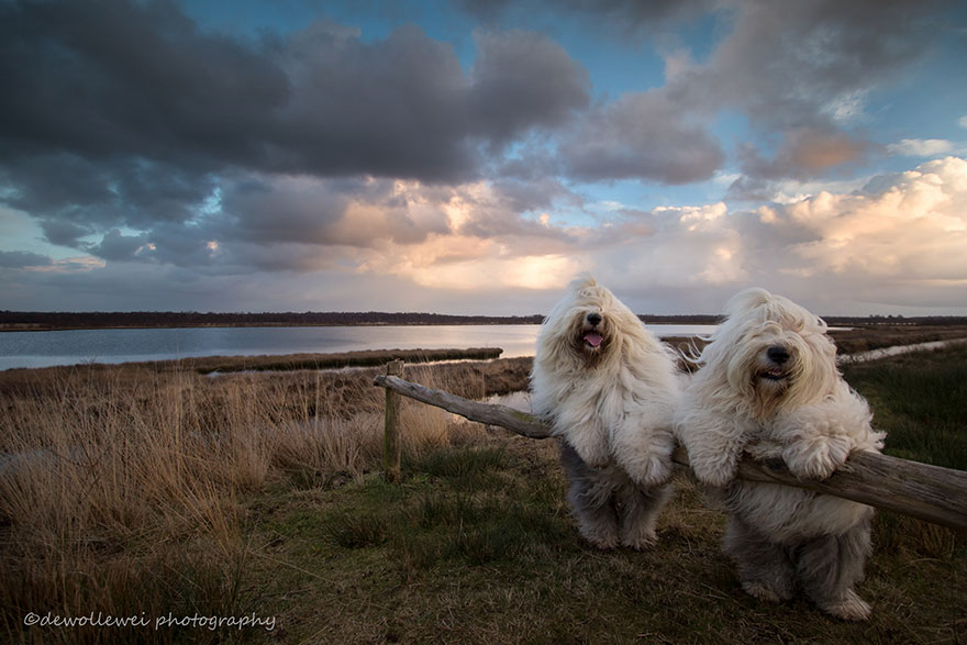 old-english-sheepdog-dog-sisters-sophie-sarah-cees-bol-3