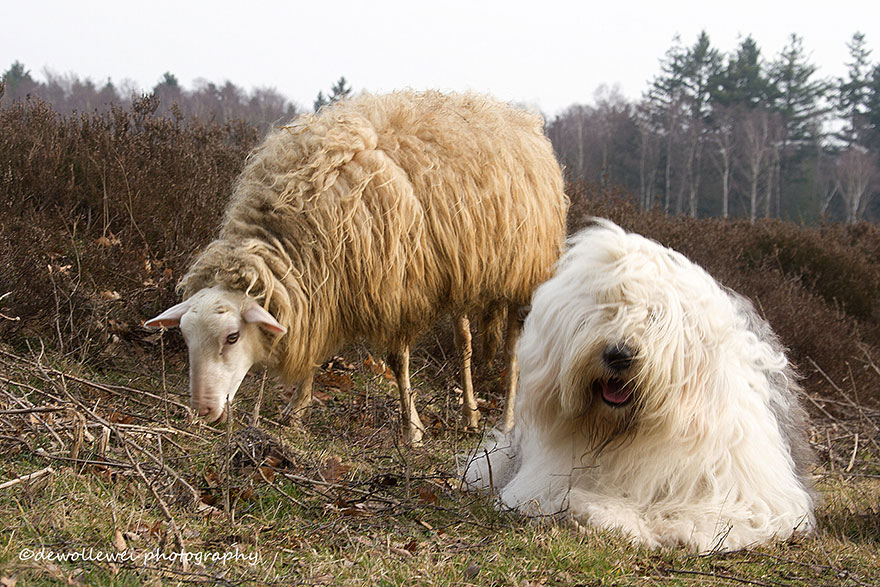 old-english-sheepdog-dog-sisters-sophie-sarah-cees-bol-9