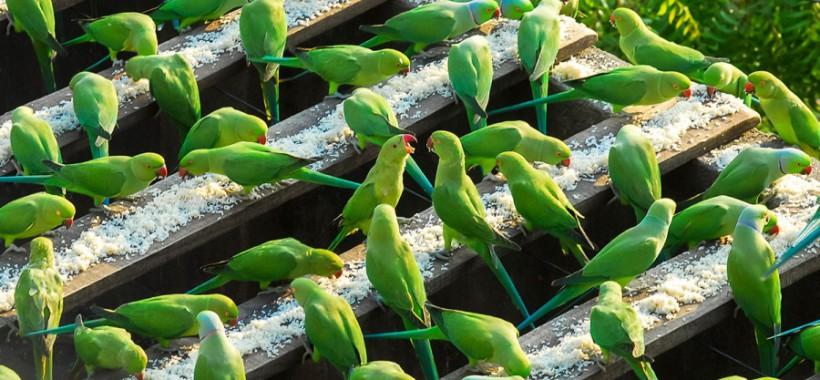 parakeets-4